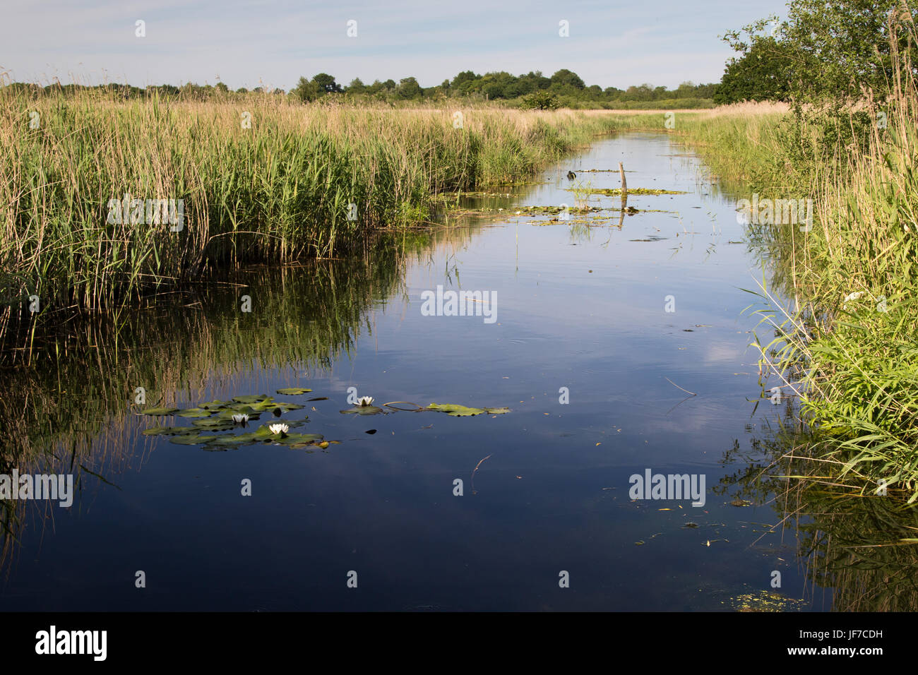 drainage ditch in a reedbed at Strumpshaw Fen, Norfolk - Stock Image