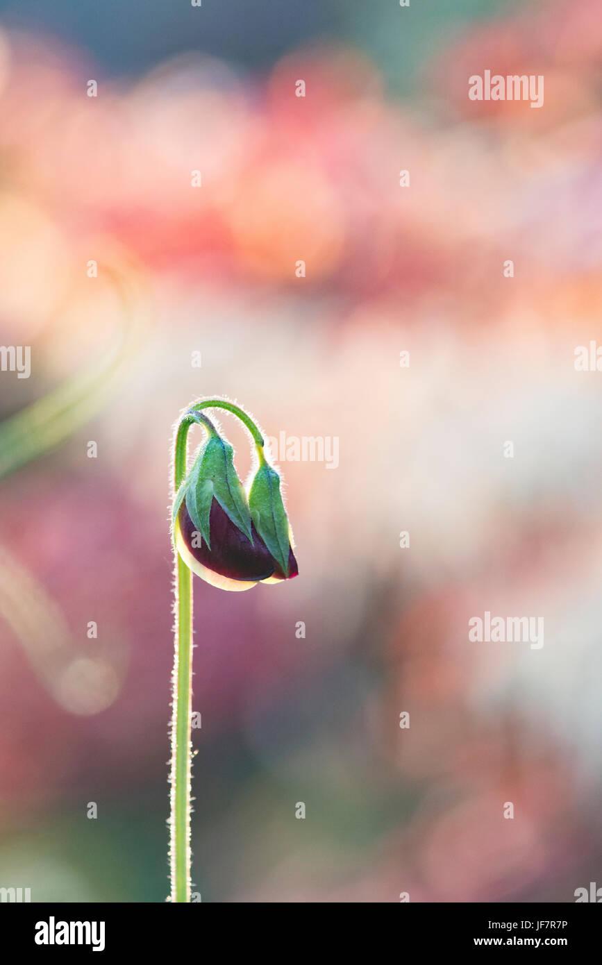 Lathyrus odoratus. Unopened sweet pea flower in the early morning sunlight. UK - Stock Image