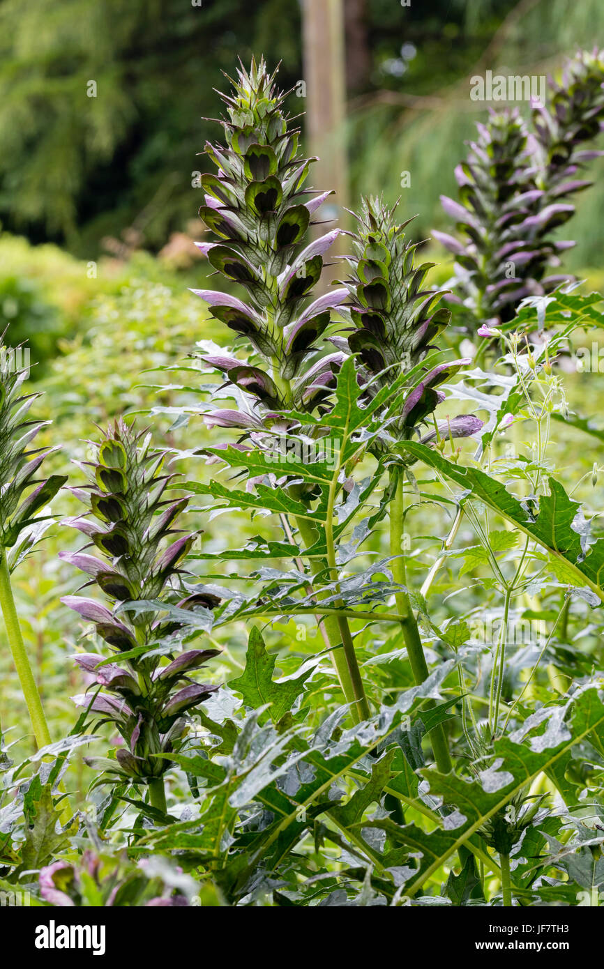Flower spikes and spiny, divided foliage of bear's breeches, Acanthus spinosus - Stock Image