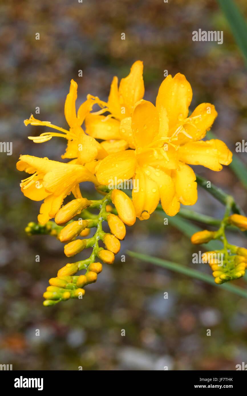 Yellow Tubular Flowers Stock Photos Yellow Tubular Flowers Stock