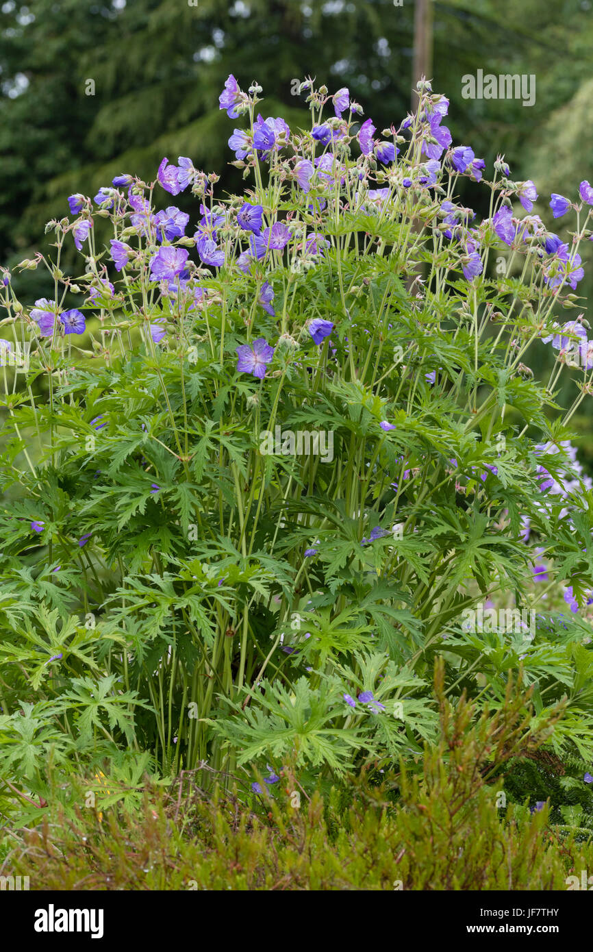 Well divided foliage topped with blue flowers of the herbaceous perennial meadow cranesbill, Geranium pratense - Stock Image