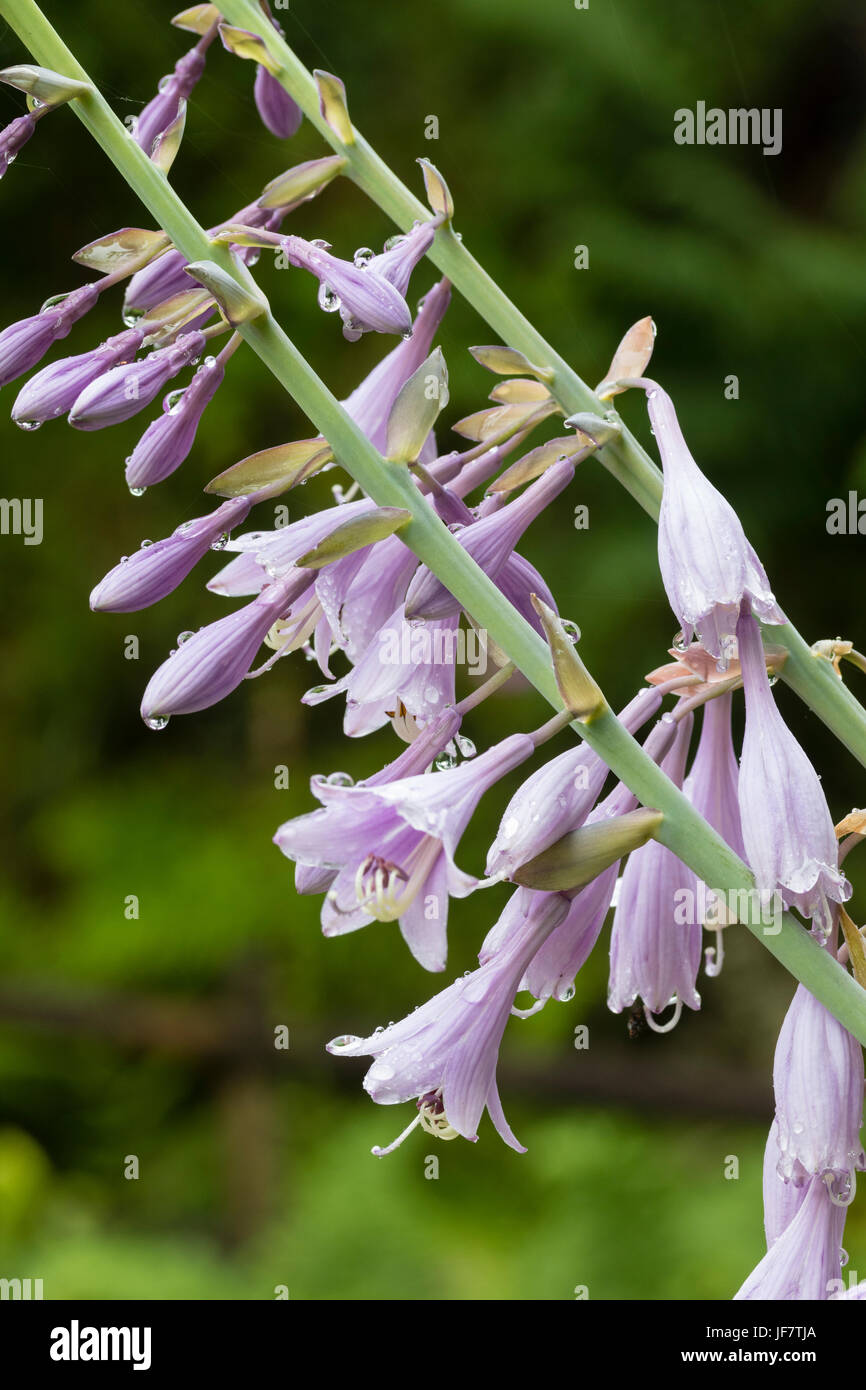 Lily like pale violet flowers inthe tall spike of the hardy stock lily like pale violet flowers inthe tall spike of the hardy perennial hosta krossa regal izmirmasajfo