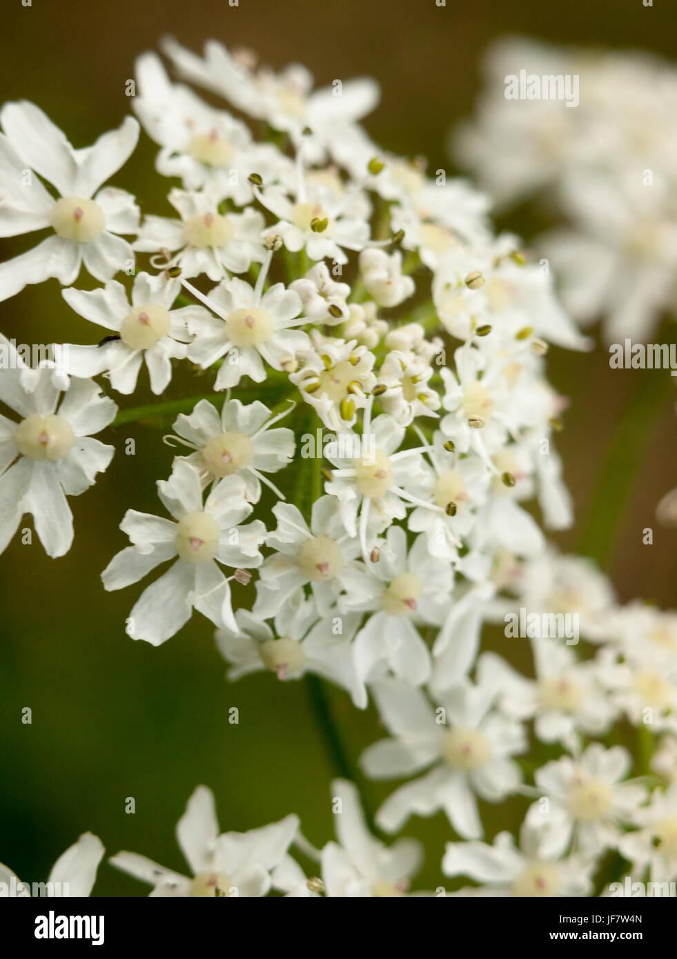 macro fresh new creamy white flower heads inspiring - Stock Image