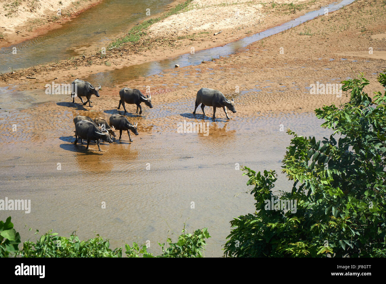 A herd of water buffalos in a clear river in the National Park of Phong Nha Ke Bang, Vietnam. - Stock Image