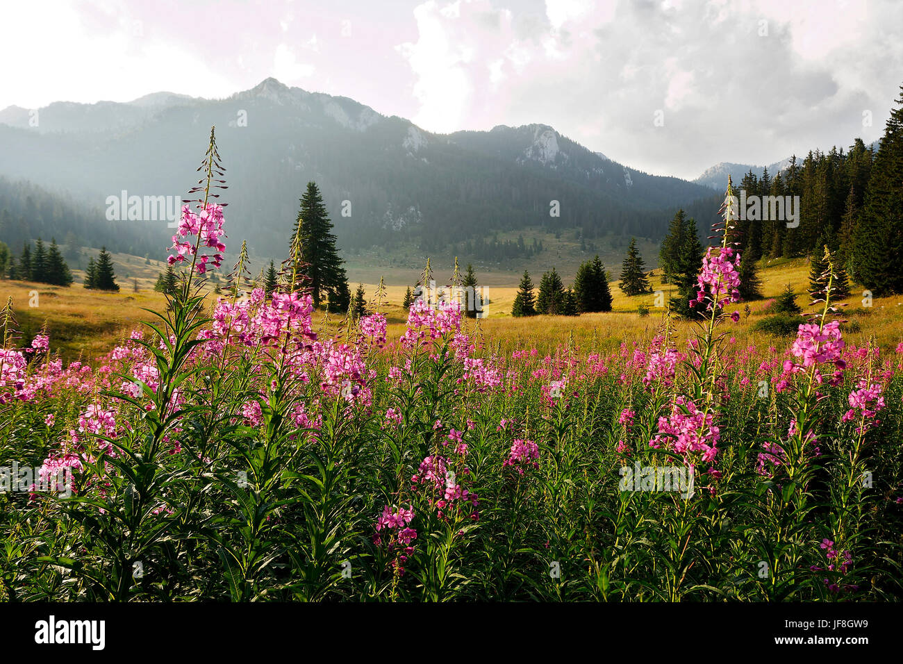 Flowers on Velebit mountain, Croatia - Stock Image