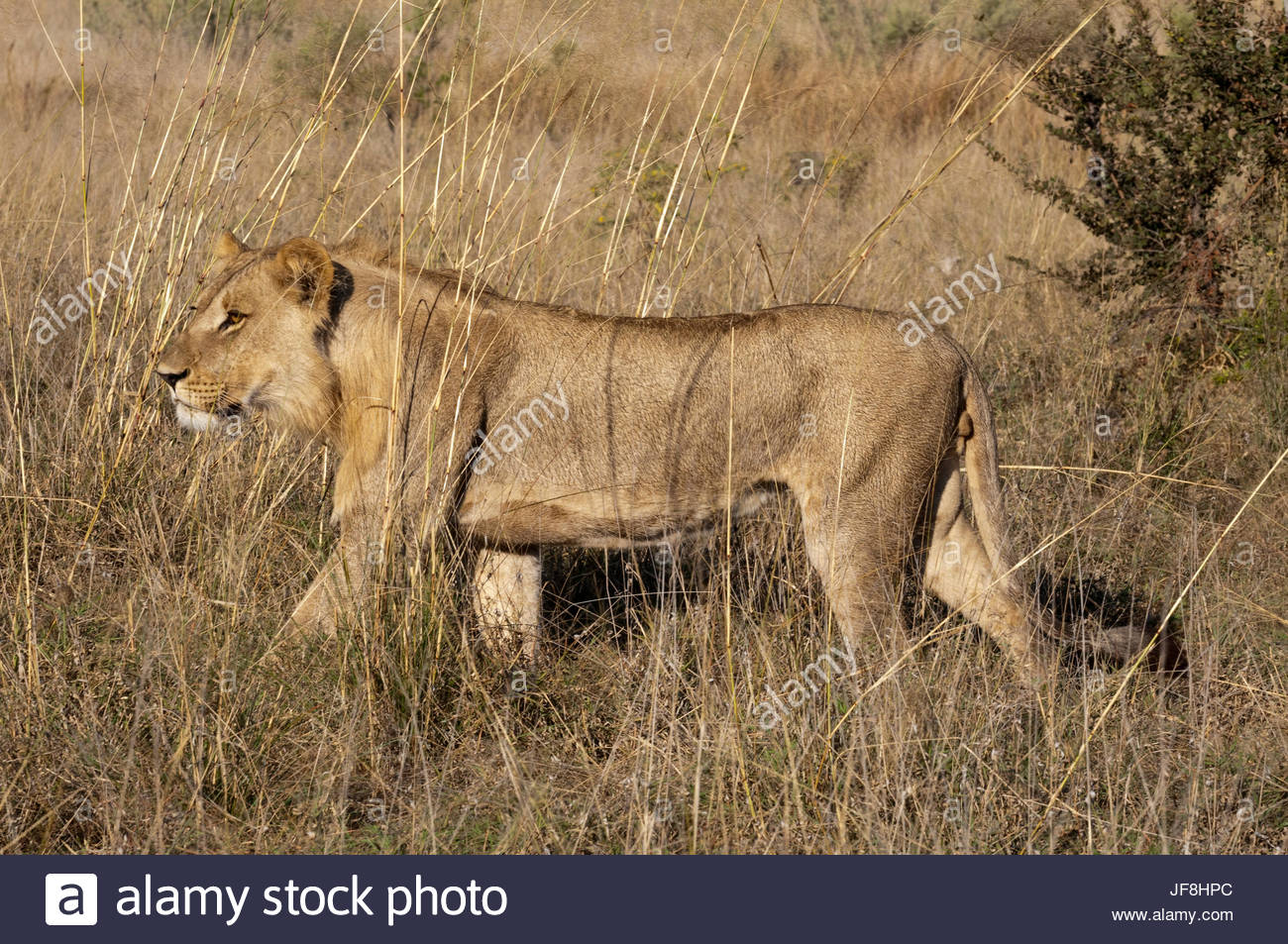 Portrait of a sub-adult male lion, Panthera leo, walking in tall grass. - Stock Image