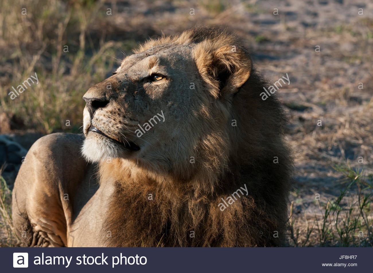 Portrait of a male lion, Panthera leo, resting. - Stock Image