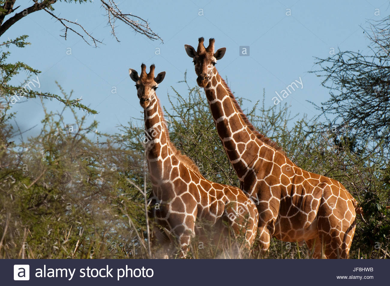 Two reticulated giraffes, Giraffa camelopardalis reticulata, among thorny acacia trees. - Stock Image