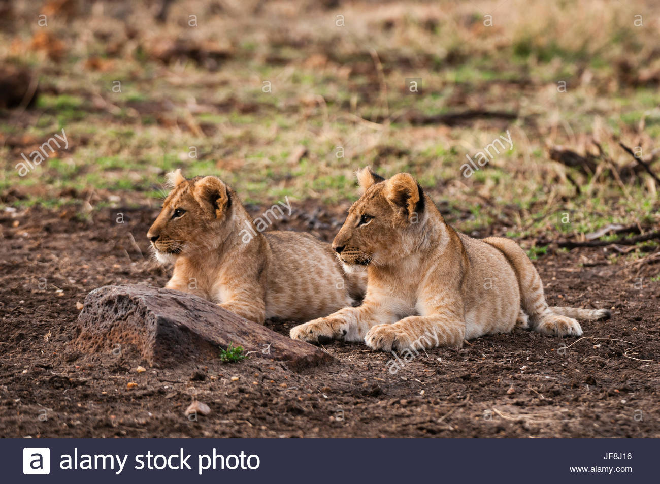 Two lion cubs, Panthera leo, resting side by side. Stock Photo