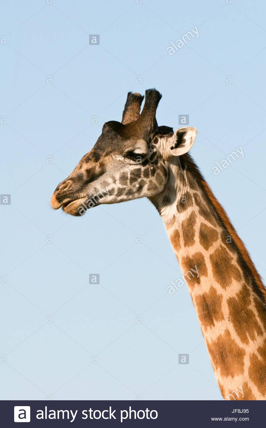 Portrait of a male Maasai giraffe, Giraffa camelopardalis tippelskirchi. - Stock Image