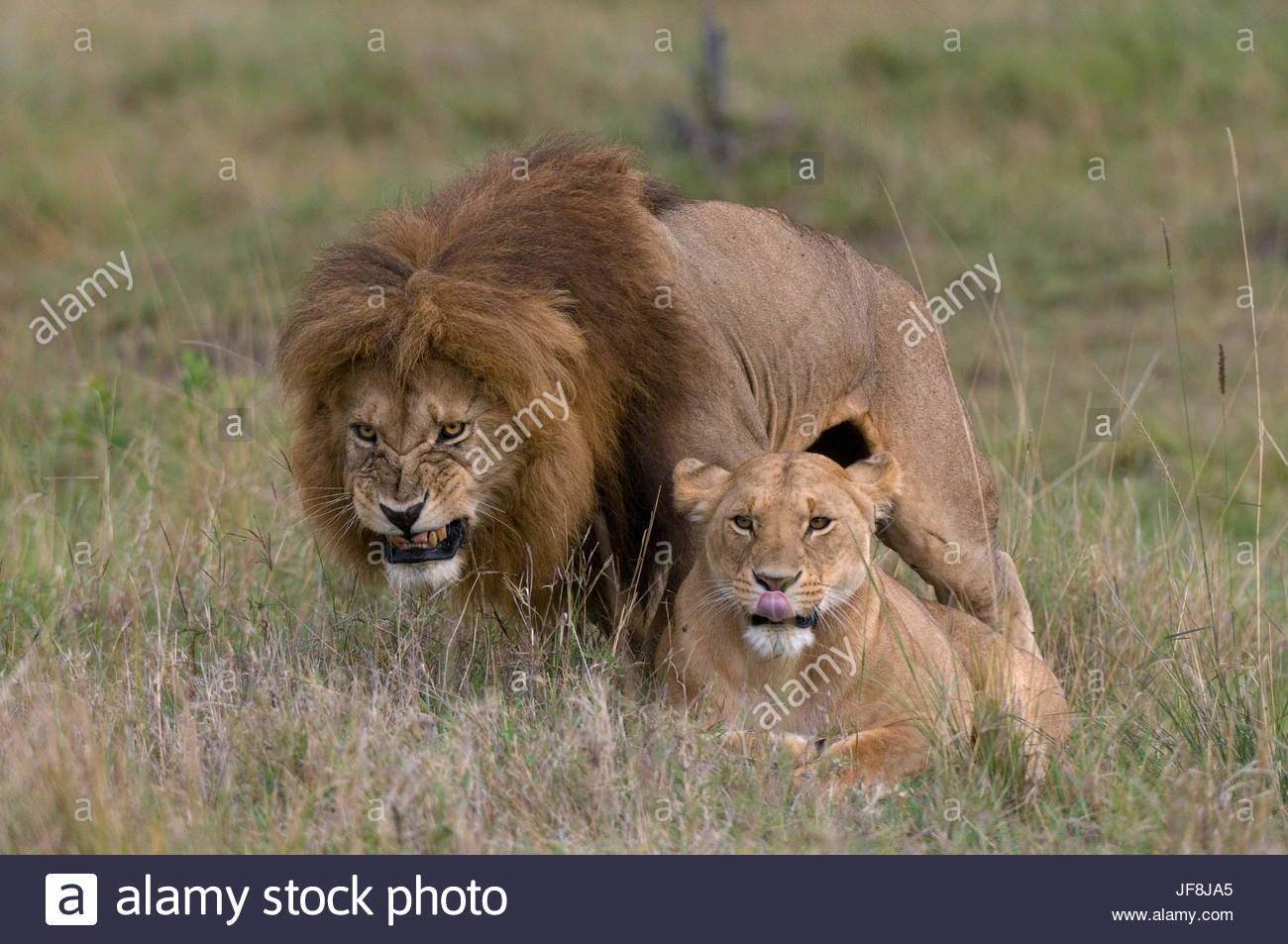 A male lion, Panthera leo, snarls as he mates with a submissive female below. - Stock Image