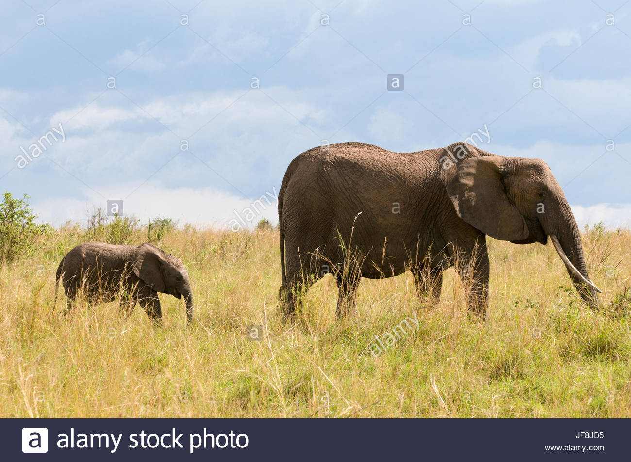 An African elephant calf, Loxodonta africana, following its mother in the tall grass. Stock Photo