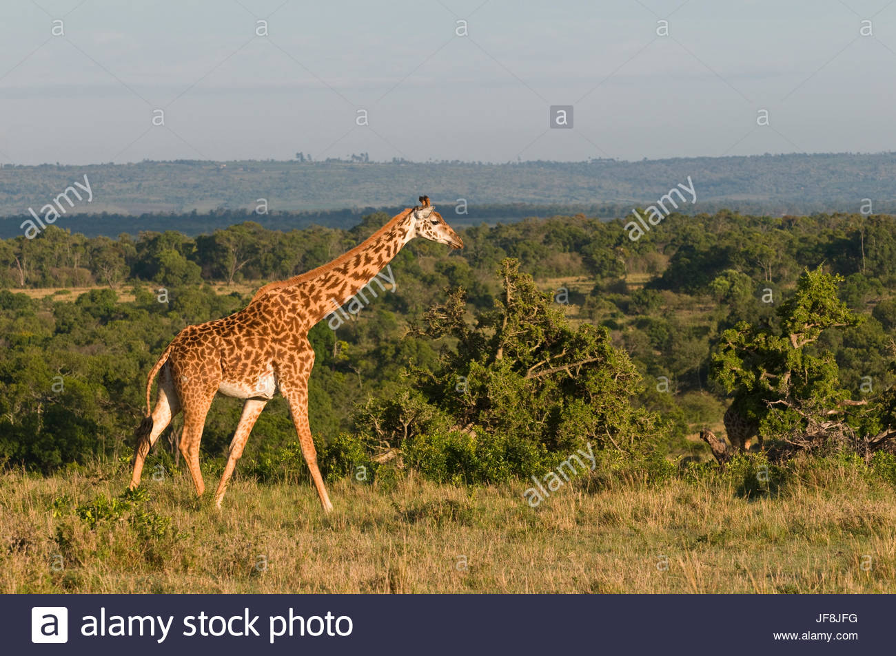 A Maasai giraffe, Giraffa camelopardalis tippelskirchi, walking in a vast landscape of grasslands and trees. - Stock Image
