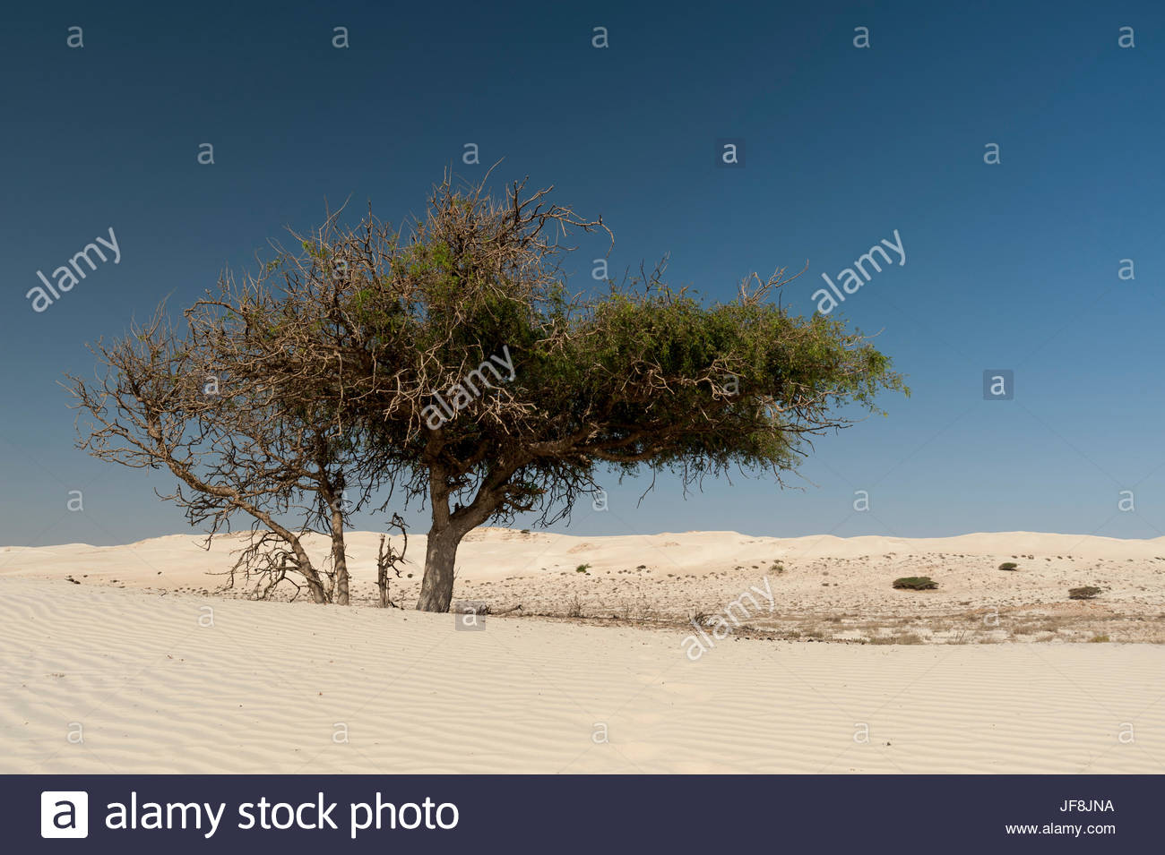 A lone tree growing in white desert sand dunes. - Stock Image