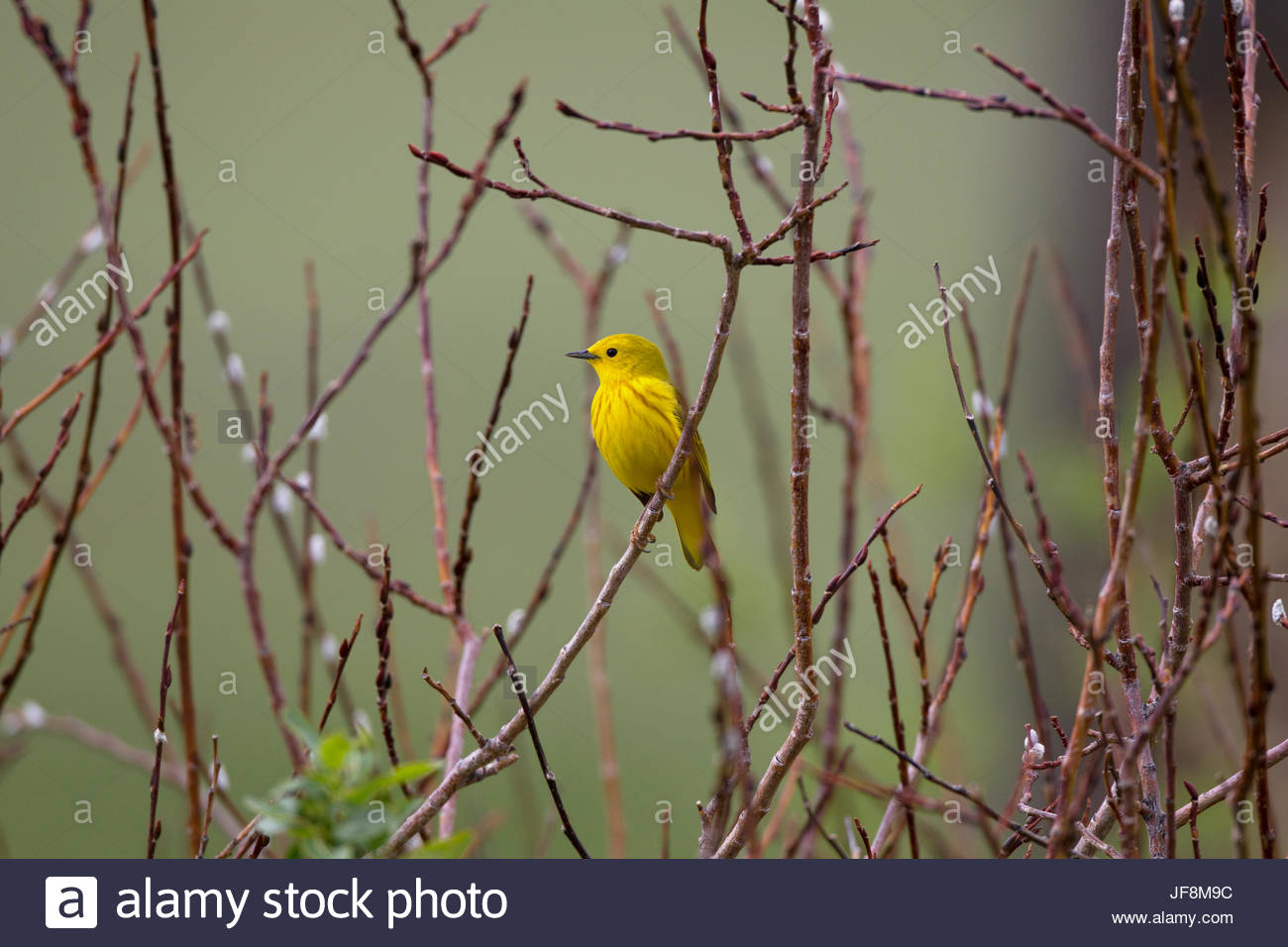 A male yellow warbler, Dendroica petechia, perched on a twig. - Stock Image