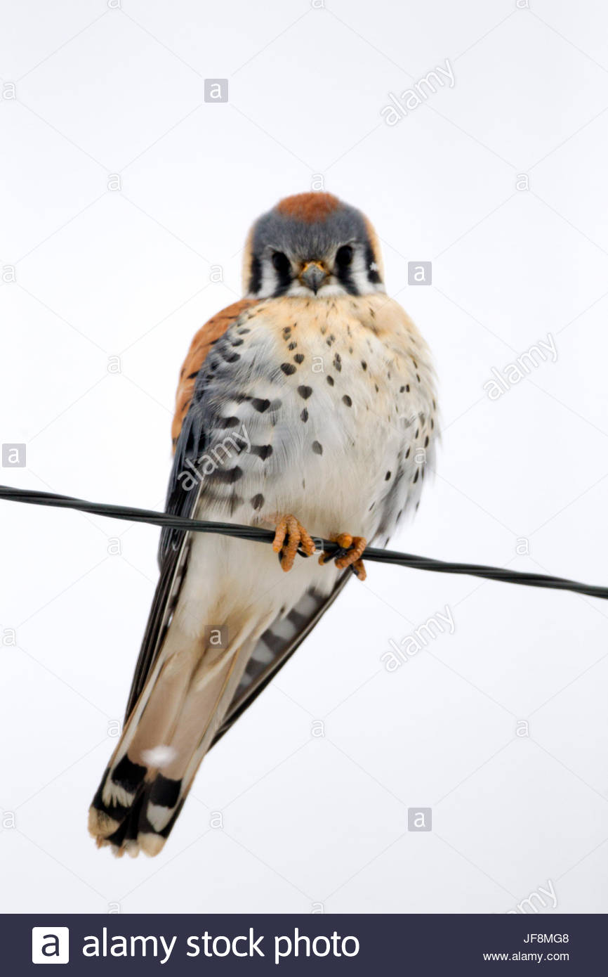 An American kestrel, Falco sparverius, perches on a wire. - Stock Image