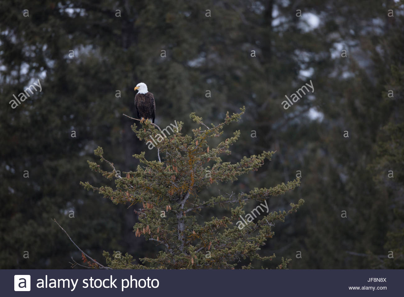 A bald eagle, Haliaeetus leucocephalus, perched in the top of a conifer. - Stock Image