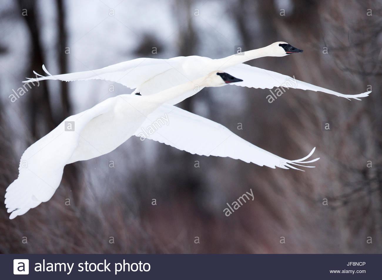 Two tundra swans, Cygnus columbianus, flying in unison. Stock Photo