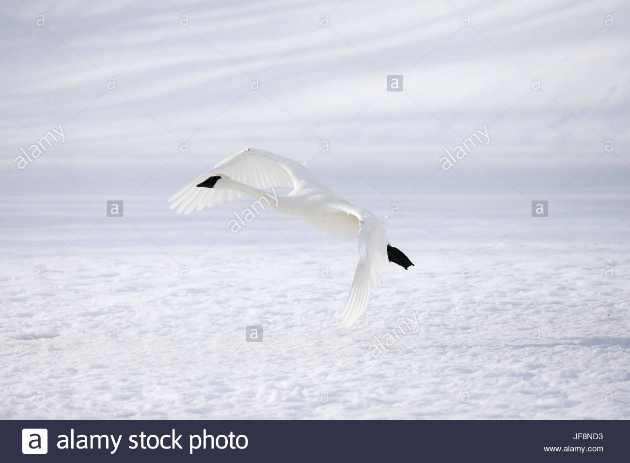 A tundra swan, Cygnus columbianus, camouflaged in its snowy environment. Stock Photo