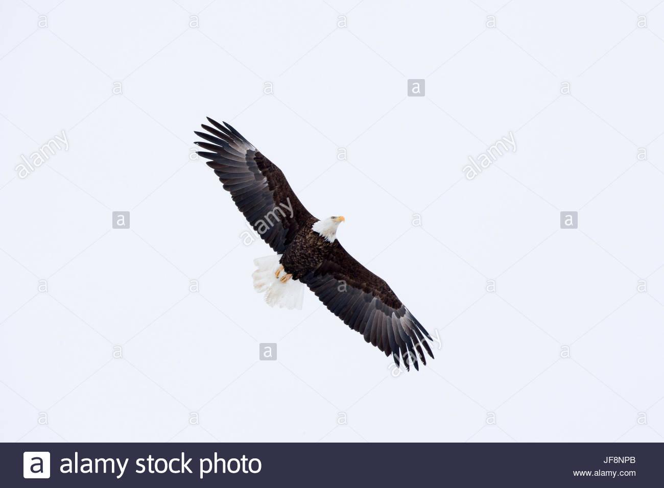 A bald eagle, Haliaeetus leucocephalus, soars through an overcast sky. Stock Photo