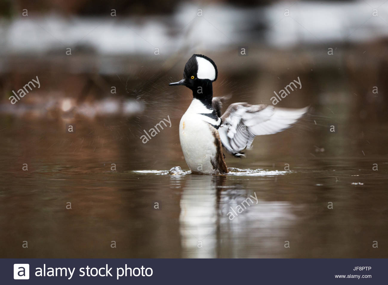 A hooded merganser, Lophodytes cucullatus, flapping its wings in the water. - Stock Image
