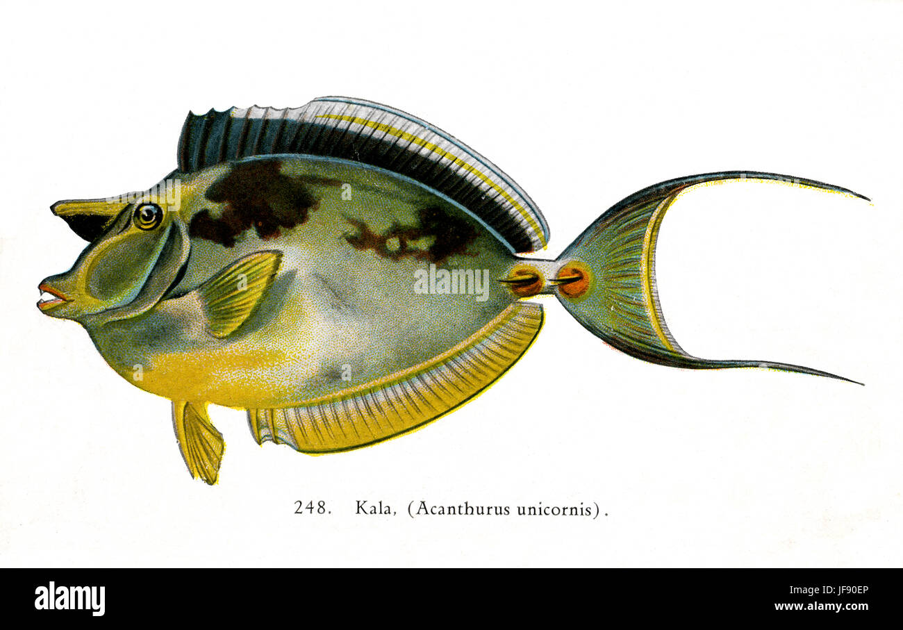 Bluespine unicornfish (Acanthurus unicornis / Naso unicornis) Pacific fish species found around the coast of Hawaii. - Stock Image