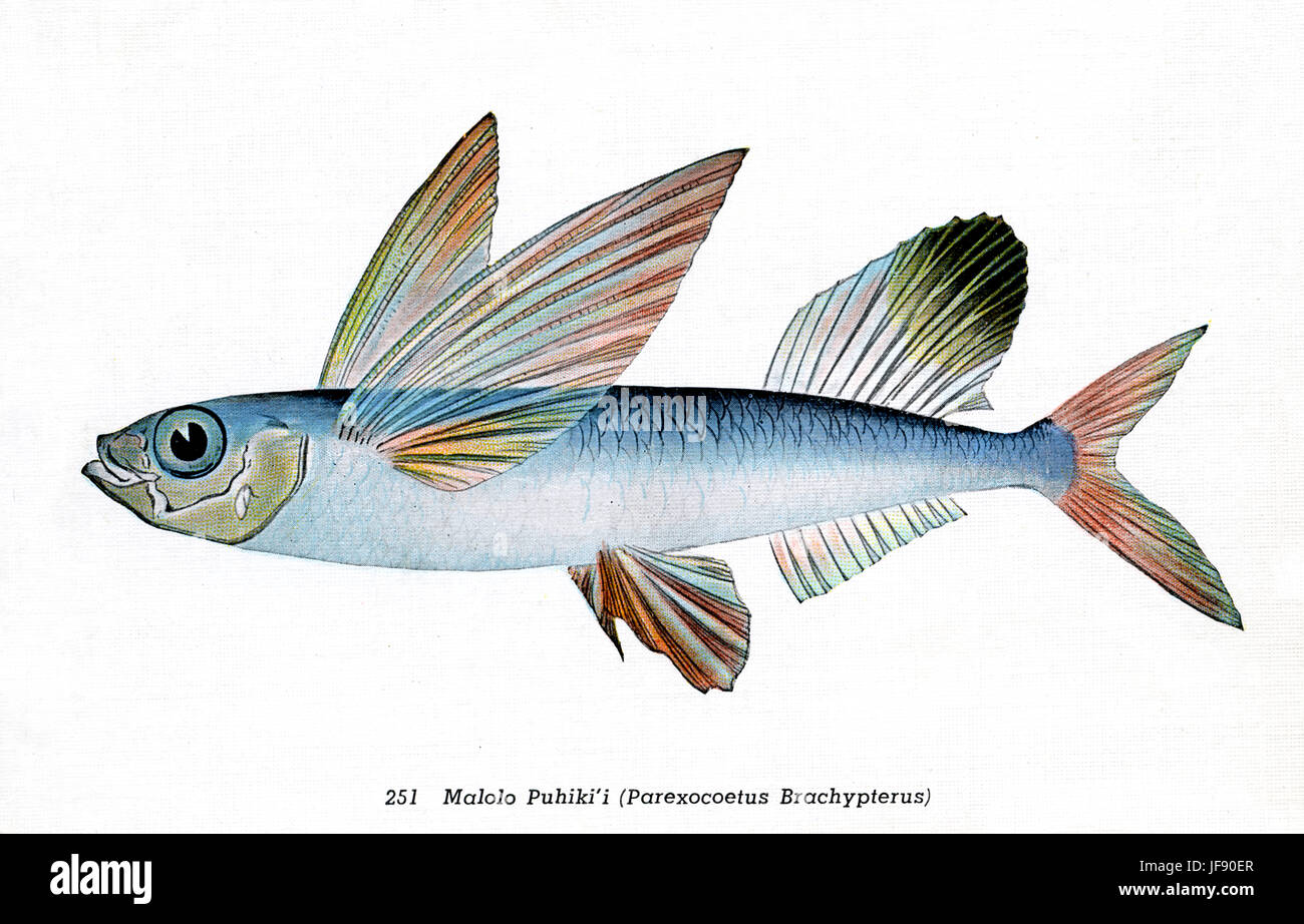 Sailfin flyingfish (Parexocoetus brachypterus), Pacific fish species found around the coast of Hawaii. Hawaiian - Stock Image