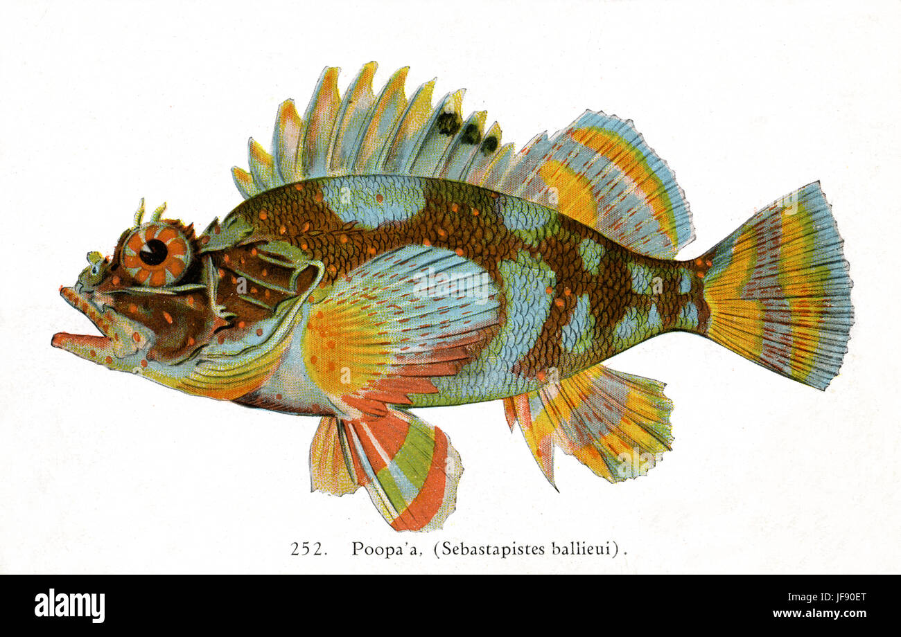 Spotfin scorpionfish (Sebastapistes ballieui), Pacific fish species found around the coast of Hawaii. Hawaiian name - Stock Image
