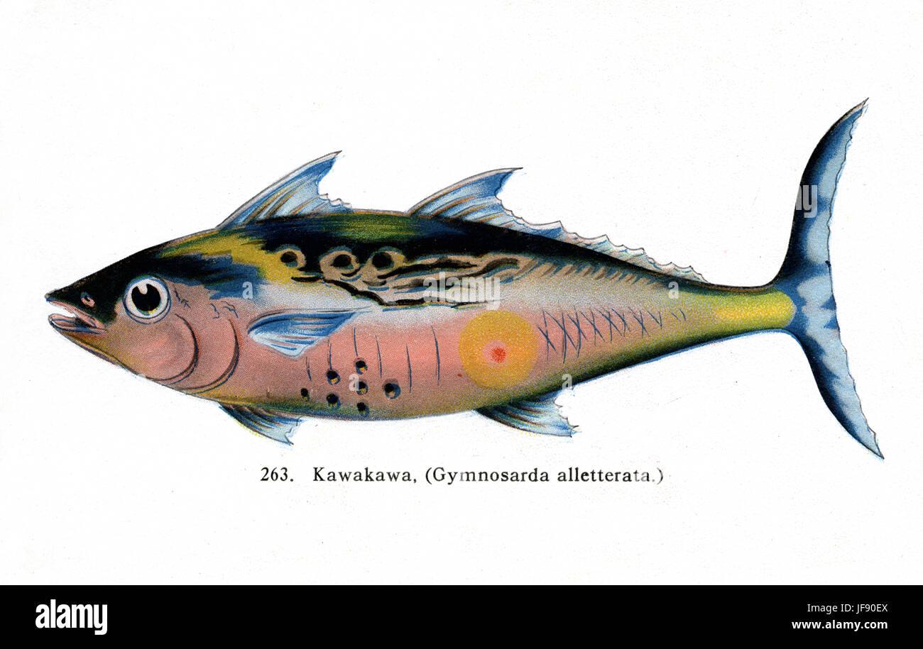 Mackerel tuna / Kawakawa (Euthynnus affinis, formerly gymnosarda alletterata) Pacific fish species found around - Stock Image