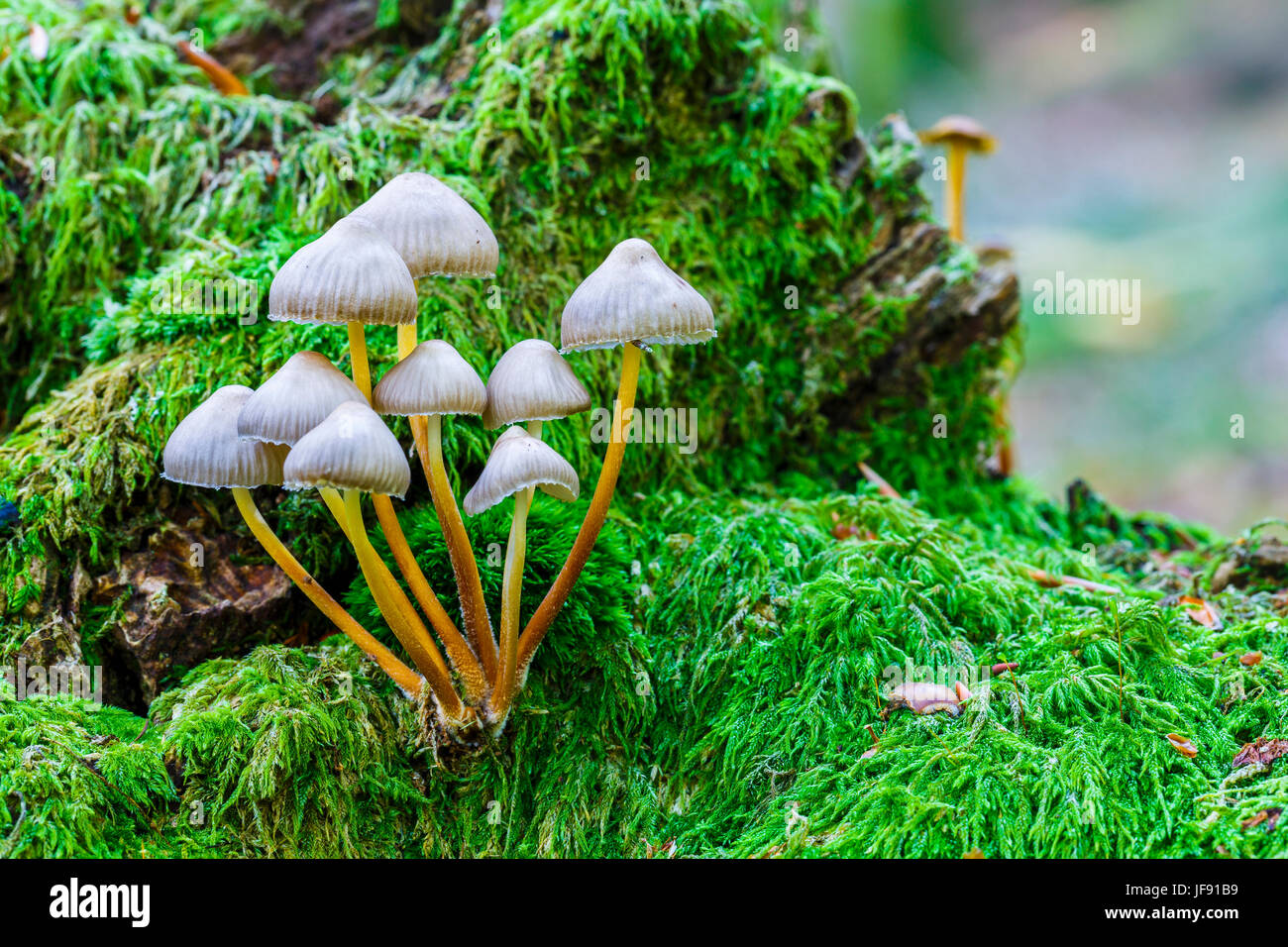 Beautiful bonnet mushroom (Mycena renati). - Stock Image