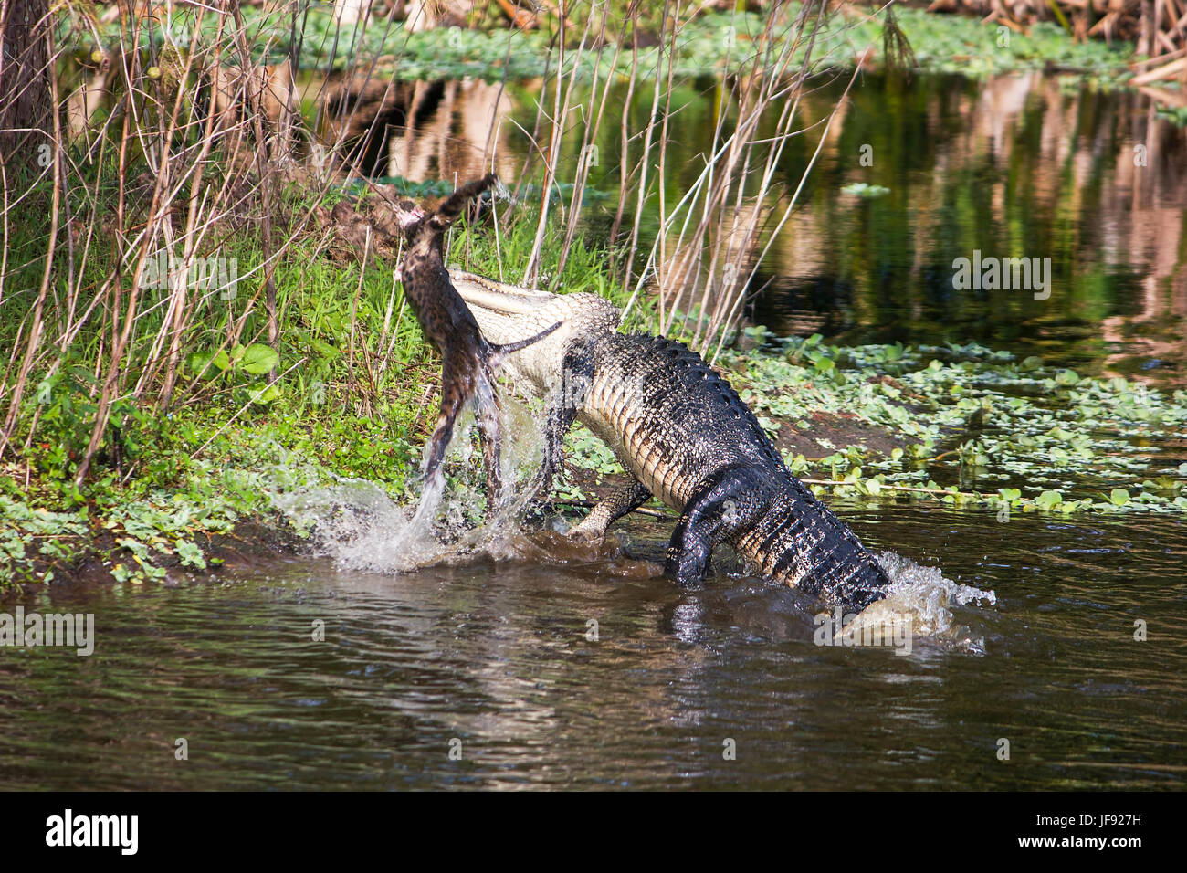 The first in a series of 4 images of an alligator attacking and eating a bobcat in the Florida Everglades. This - Stock Image