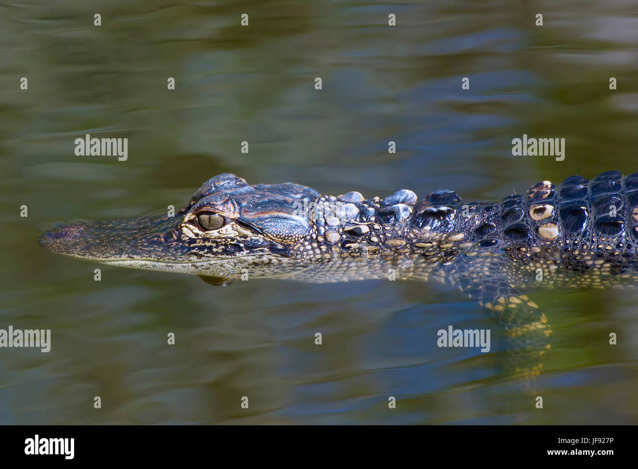 Just a baby alligator enjoying life in the Florida Everglades. It's a long and hard road to adulthood for baby - Stock Image