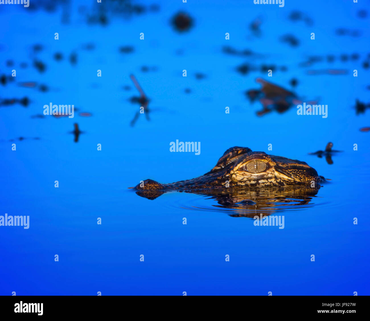A baby alligator in the Florida Everglades. At this age they are still vulnerable to predators. If it reaches maturity - Stock Image