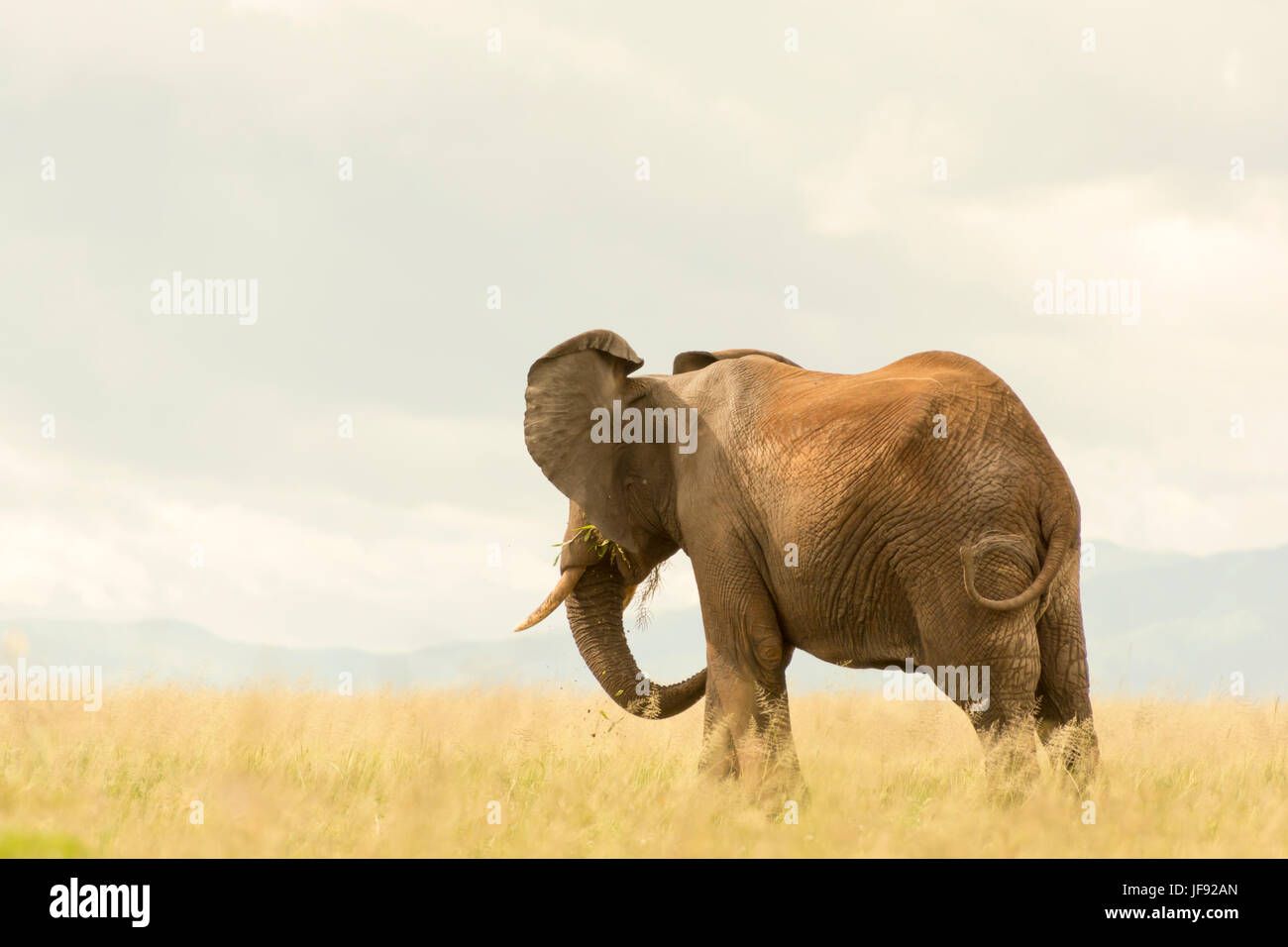 African elephant looking off into the distance in Tarangire National Park, Tanzania. Eating grass in field of soft, - Stock Image