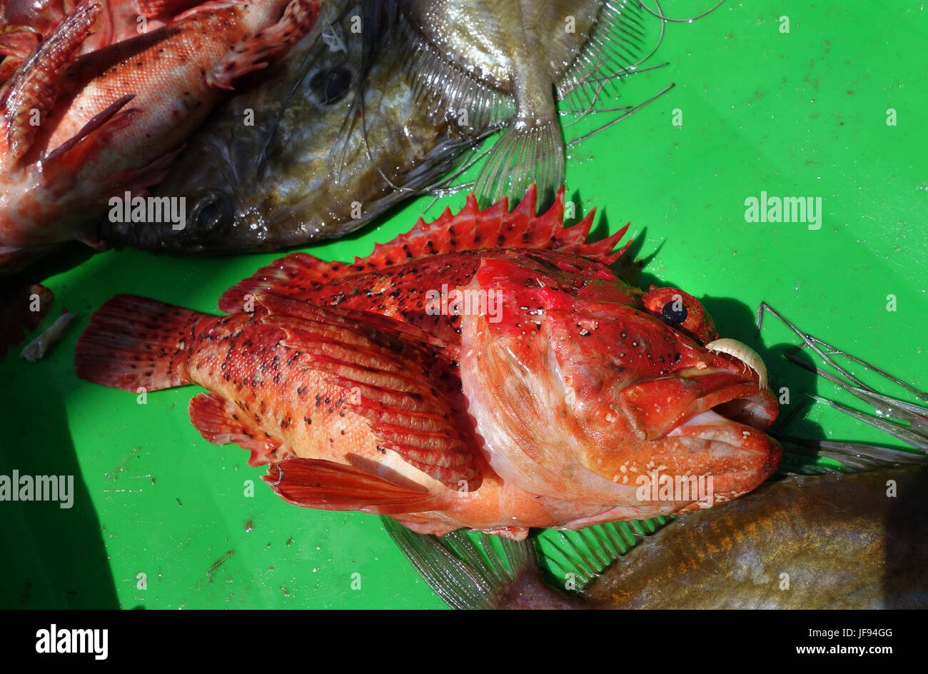 Red Snapper Fish at Puerto de Vega in Asturias in northern Spain Stock Photo