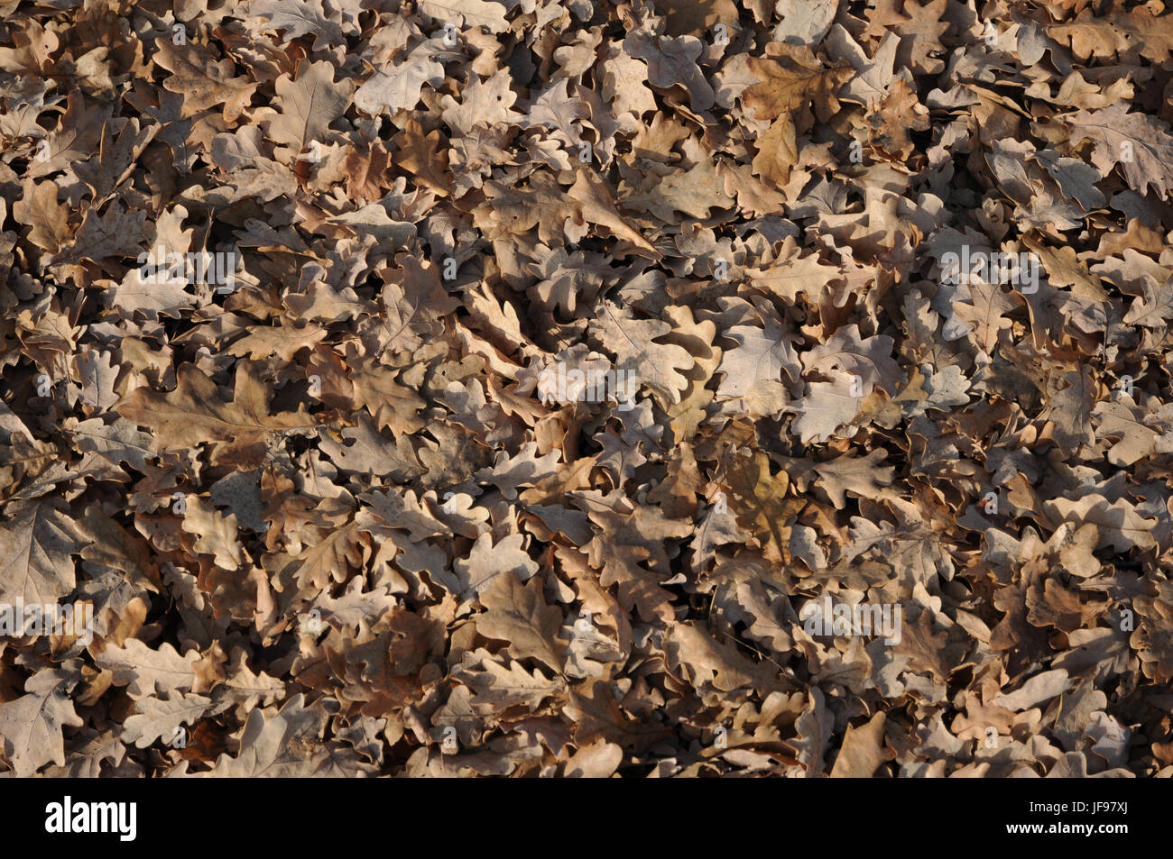 Quercus robur, German oak, autumn leaves Stock Photo