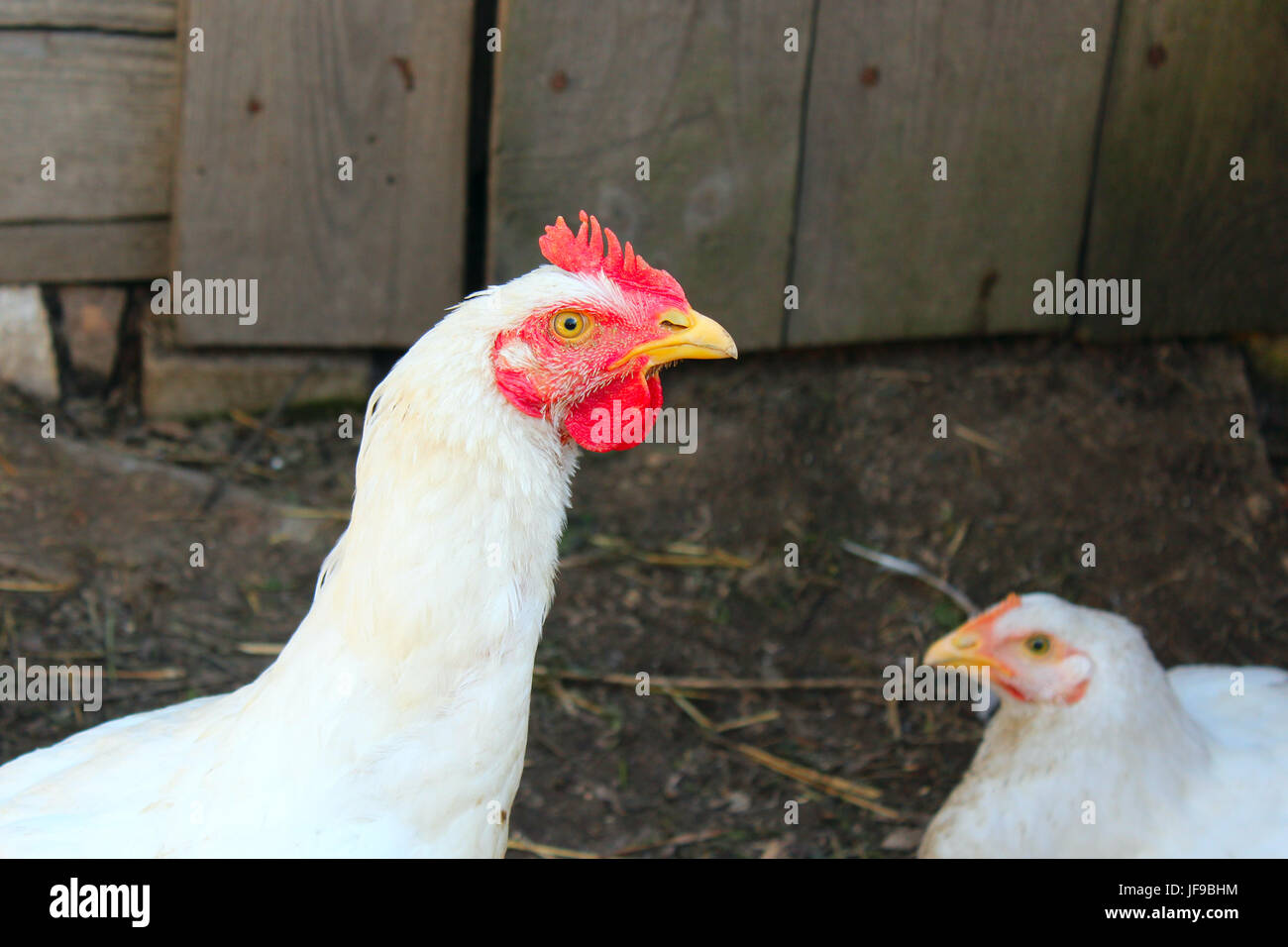 Hens in the poultry-yard - Stock Image