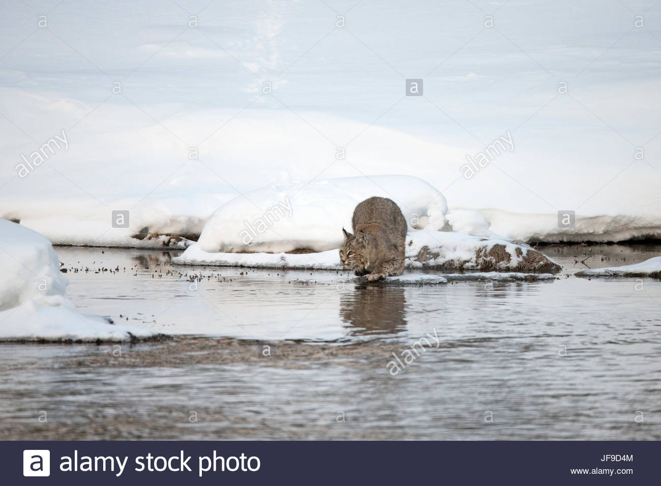 A bobcat, Lynx rufus, crouched to leap across water. Stock Photo