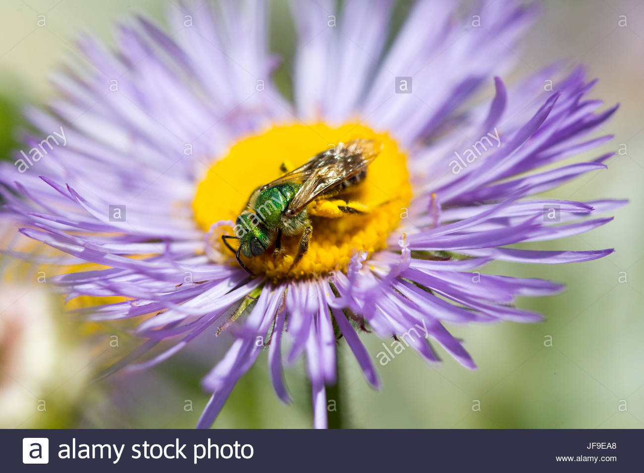 A sweat bee, Agapostemon species, collects pollen from a boltonia flower, Boltonia asteroides. - Stock Image
