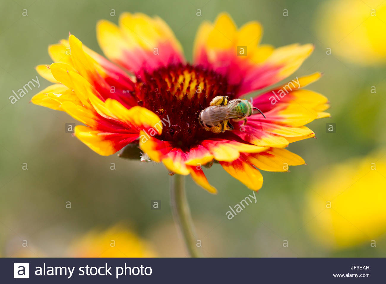 A bee collects pollen from an Indian blanket flower, Gaillardia pulchella. - Stock Image