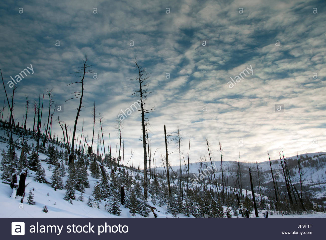 New conifer growth amid the charred remains of an old forest in a snowy landscape. - Stock Image