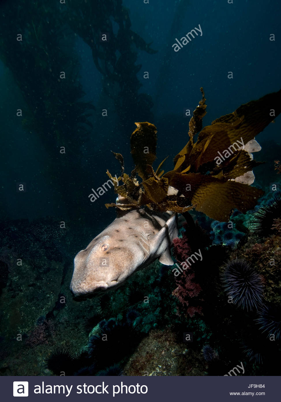 A horn shark swims through kelp in the Channel Islands off the coast of California. - Stock Image
