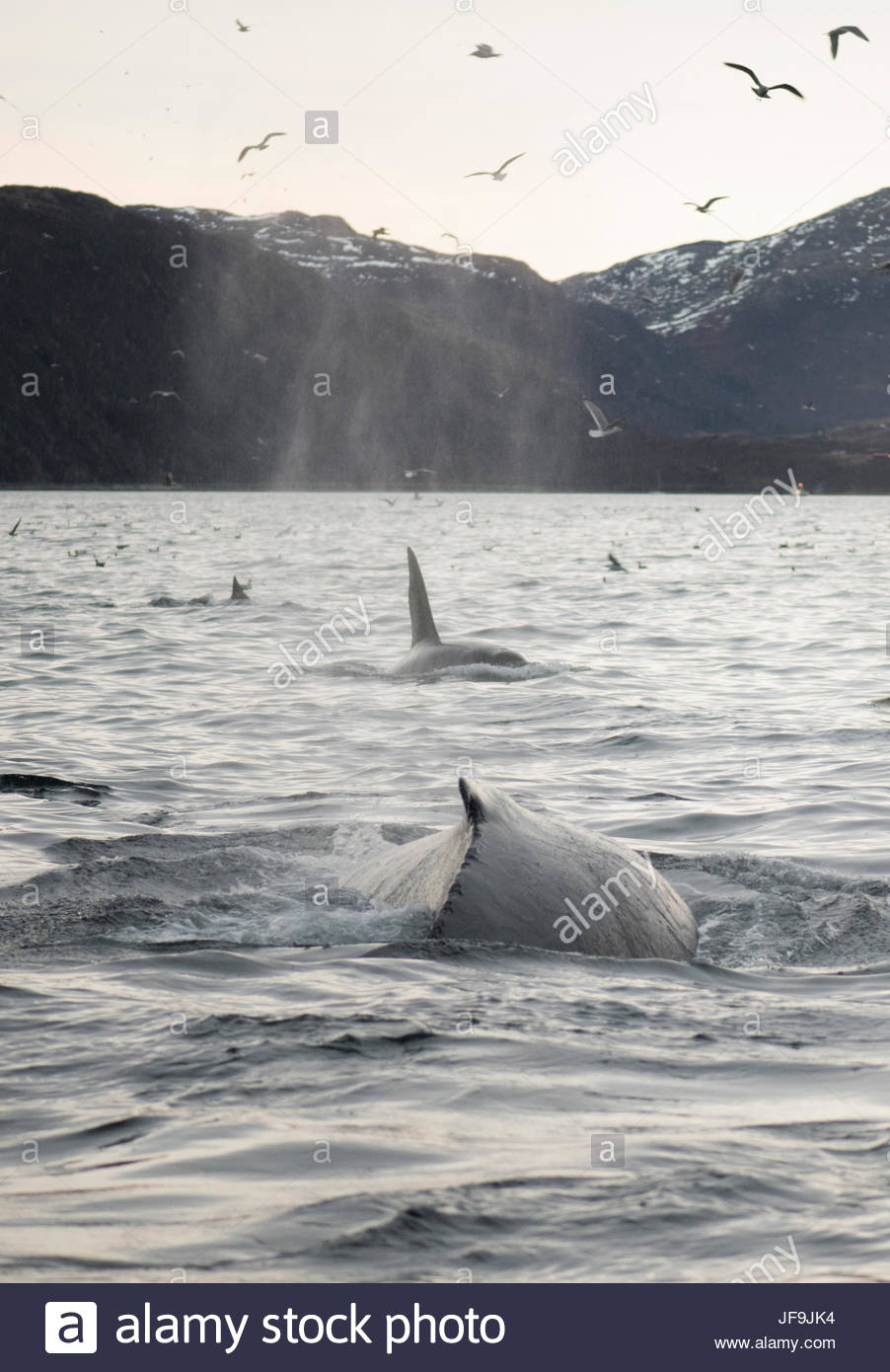 A humpback whale surfaces with orcas. - Stock Image