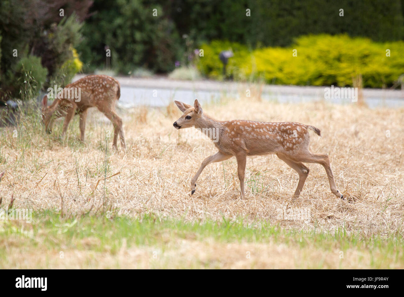 Black tailed Deer Fawn - Stock Image