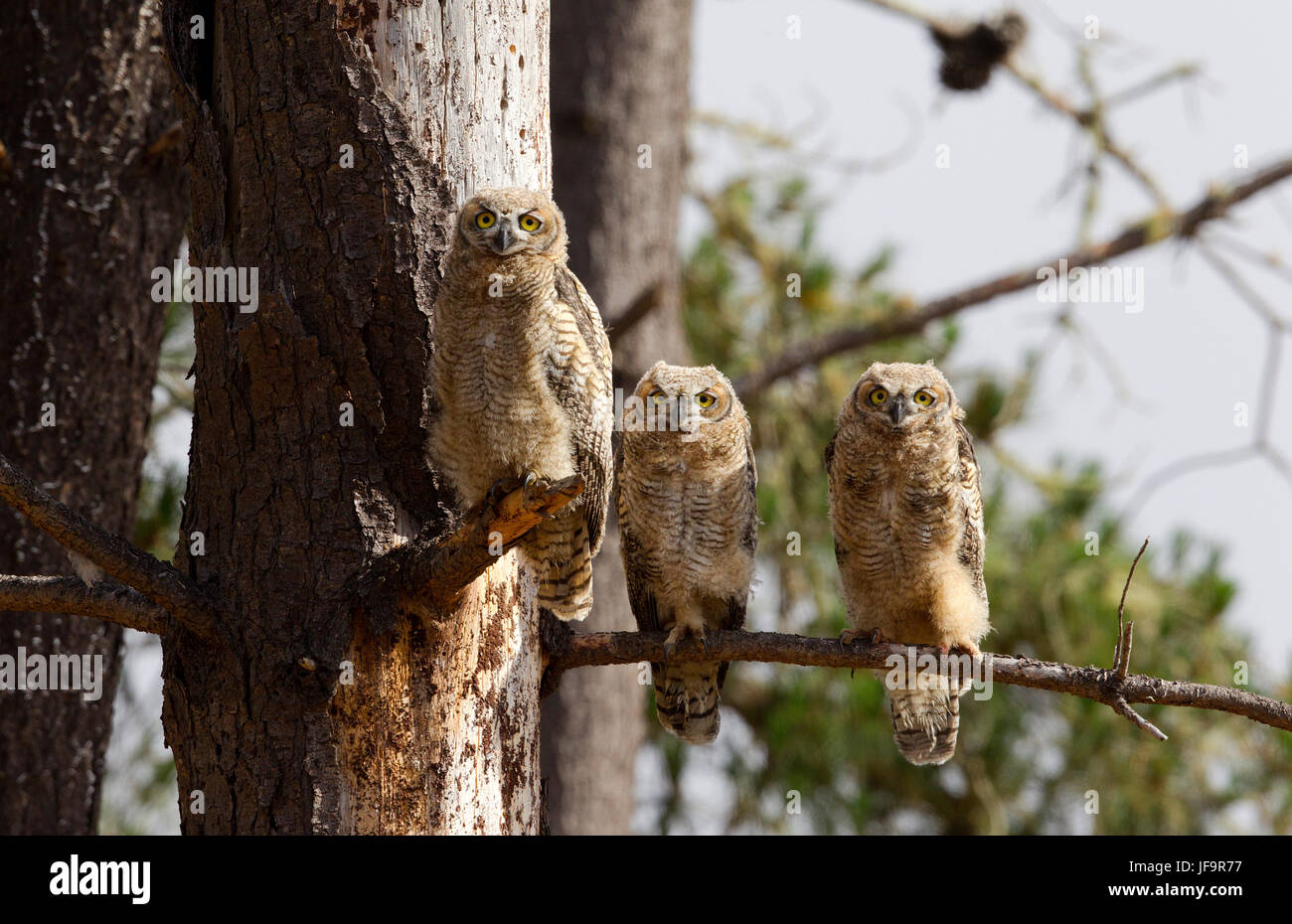 Three Great Horned Owl Fledglings - Stock Image