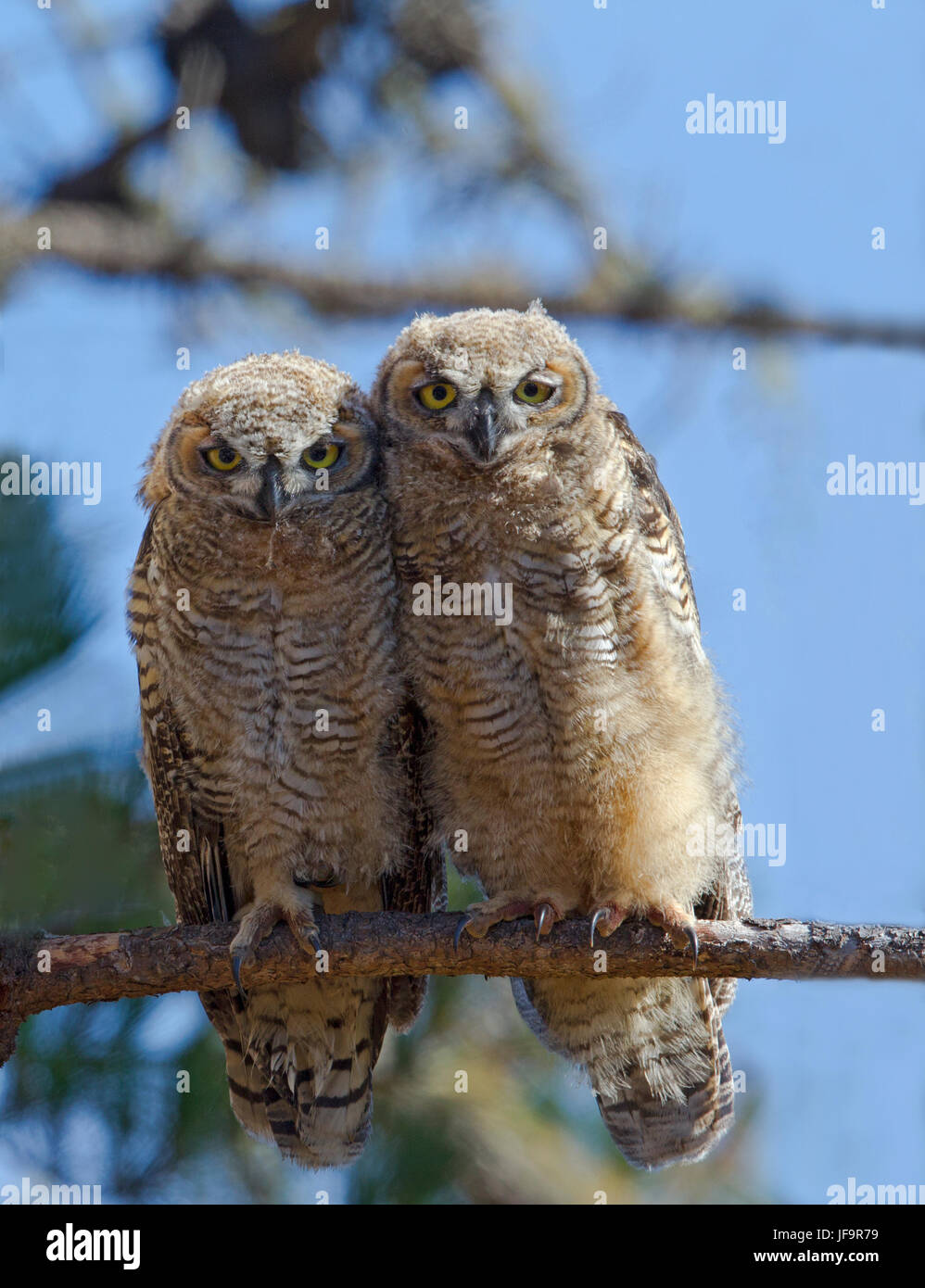 Two Great horned Owl Fledglings - Stock Image