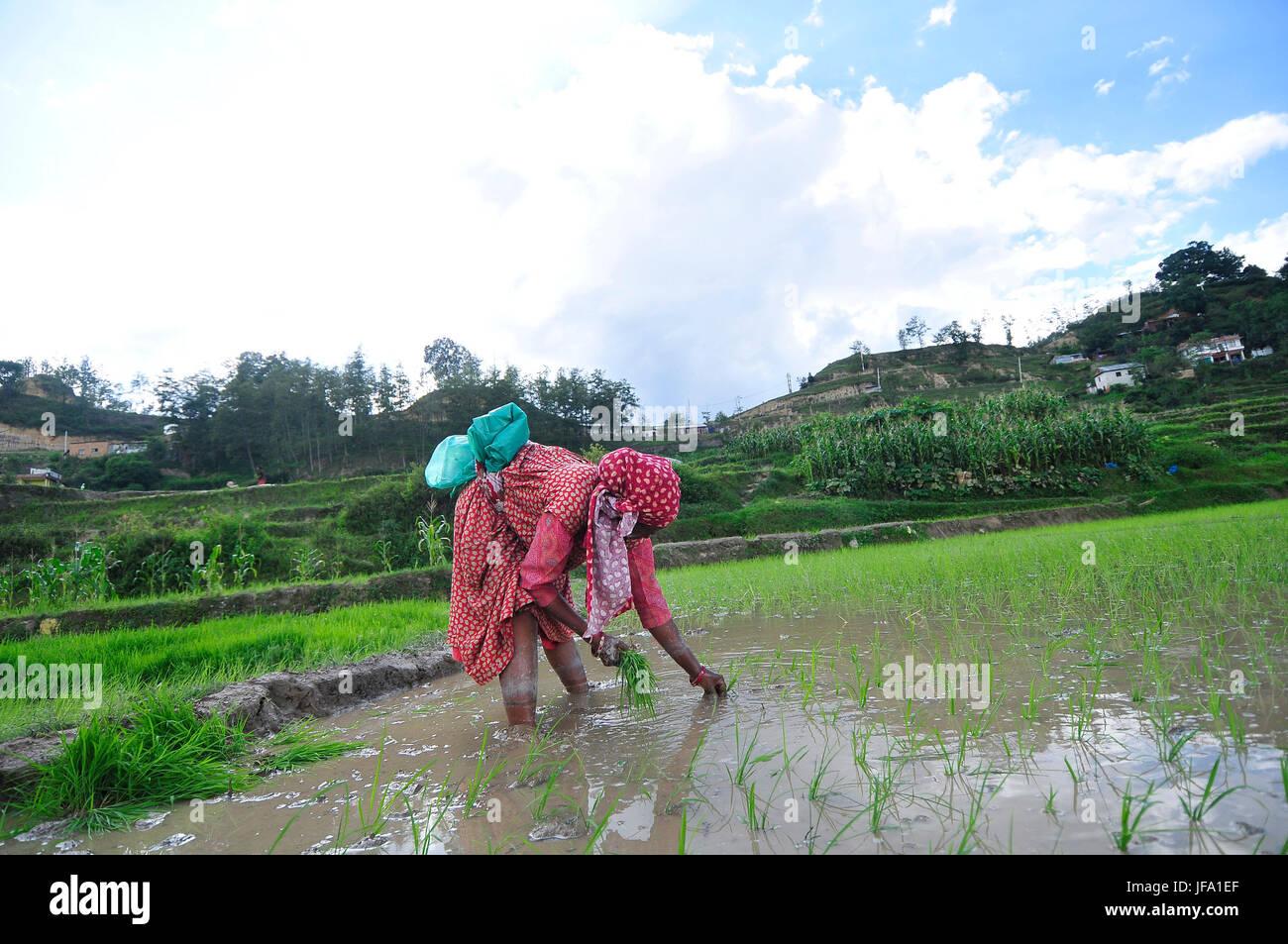Kathmandu, Nepal. 29th June, 2017. Nepalese farmer's plants Rice Samplings during the celebration of National - Stock Image