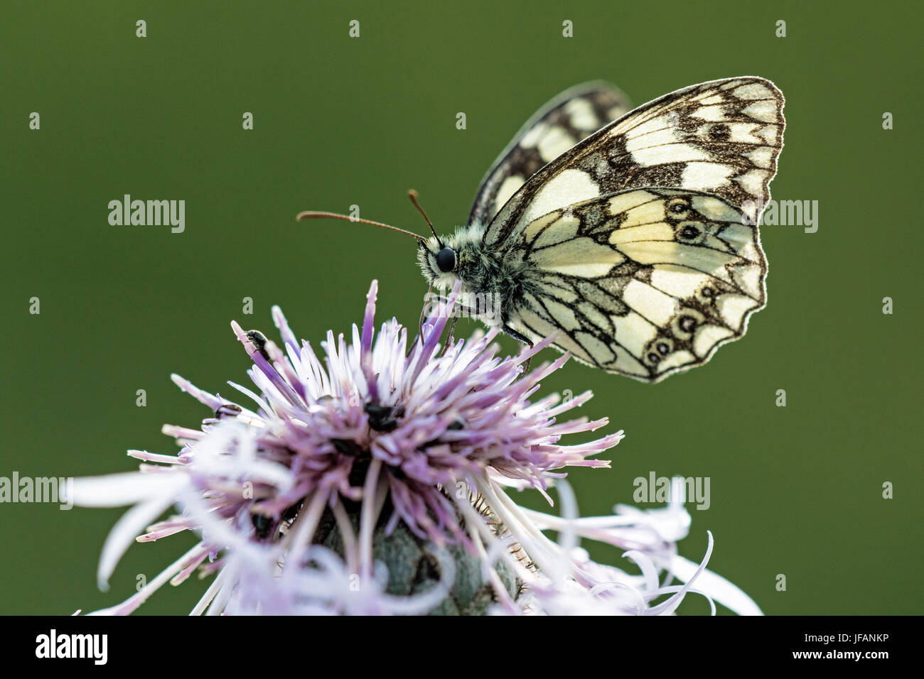 Marbled White butterfly (Melanargia galathea) nectaring on flower, Devil's dyke, Cambridgeshire - Stock Image