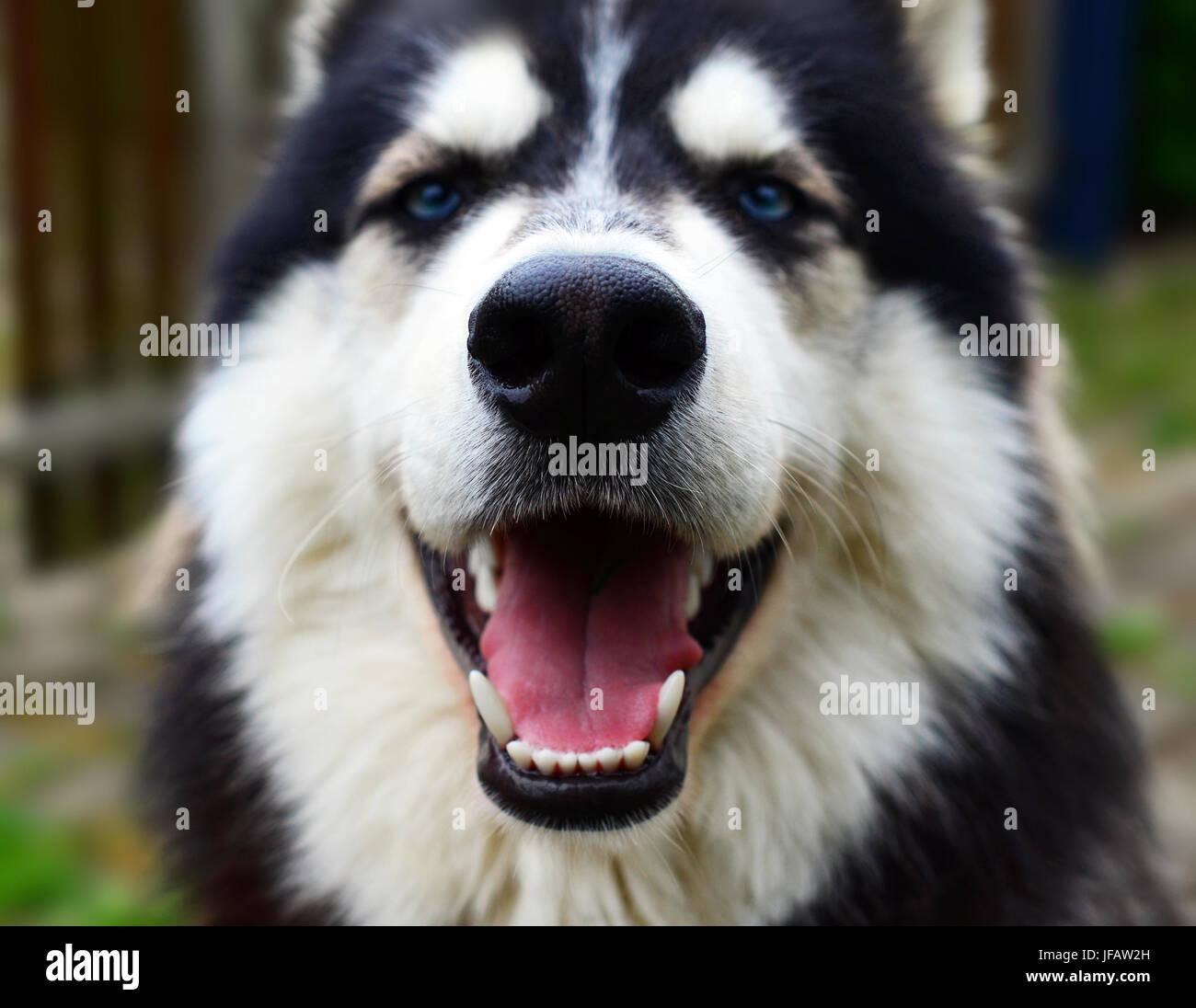 Happy Siberian Husky smiling into camera, close up view - Stock Image