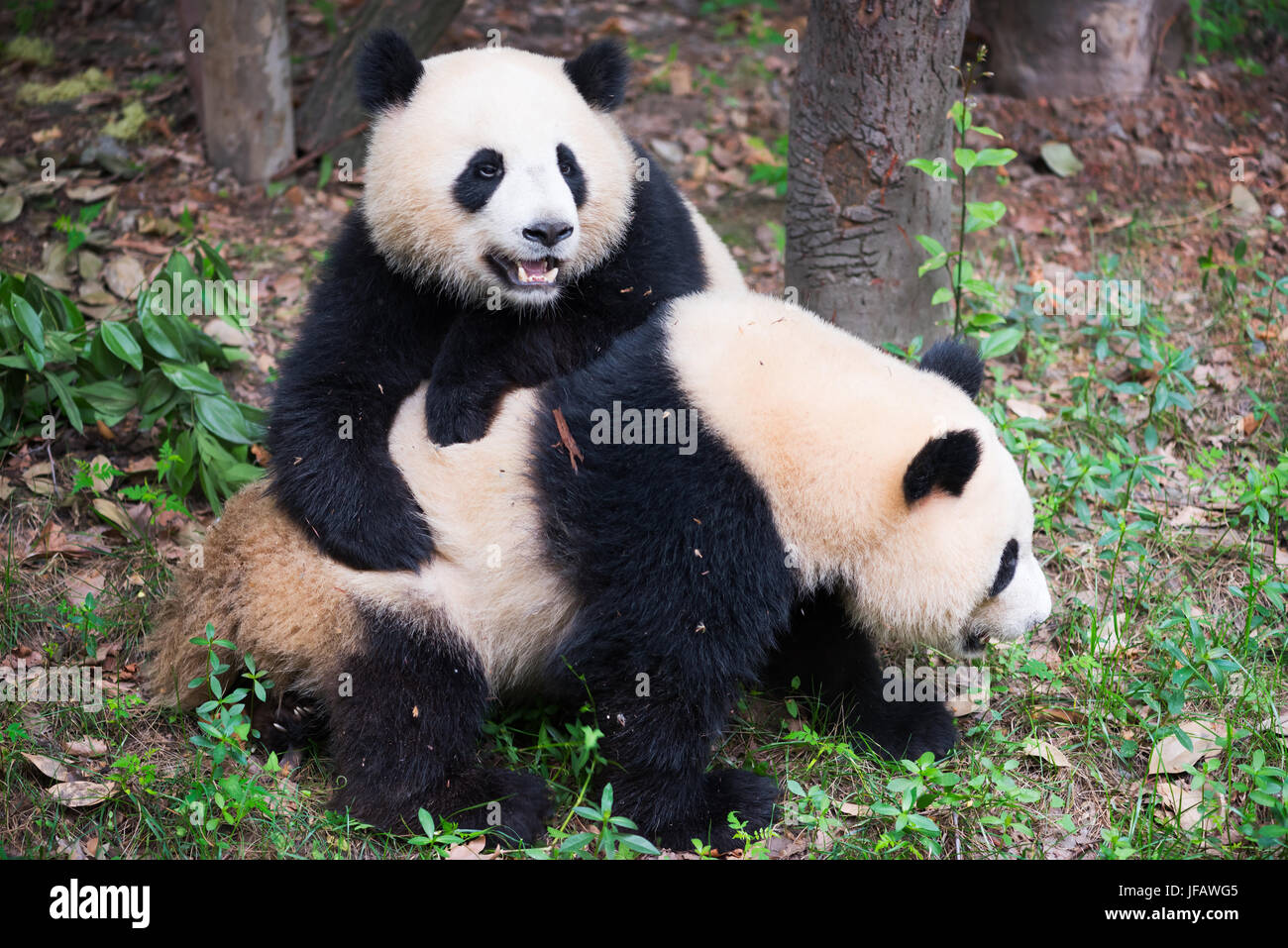 Two giant panda cubs playing together, Chengdu, China - Stock Image